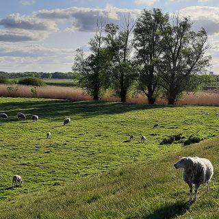 Schafe am Deich. Foto: Touristik Palette Hude, Martina Weisensee