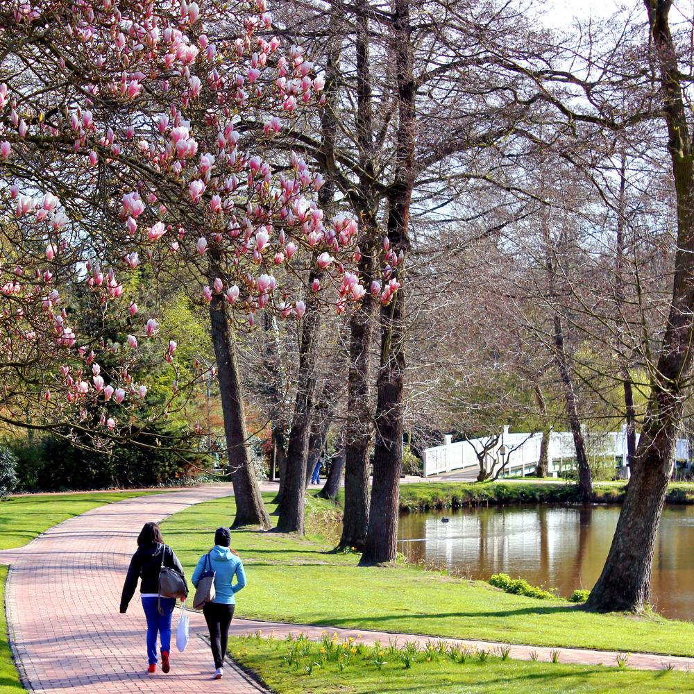 Magnolienblüte im Stadtpark von Wildeshausen. Foto: Verkehrsverein Wildeshausen